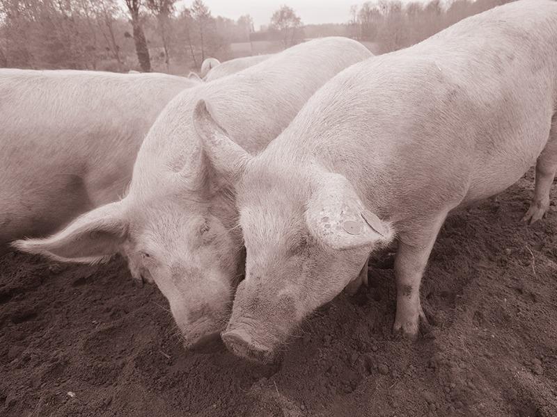 élevage de cochon